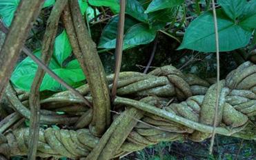 https://buyayahuasca.com/images/banisteriopsis-caapi.jpg